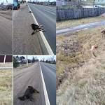 В Новгородском районе автомобиль врезался в стаю собак. Шесть из них погибли
