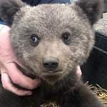 В Новгородском районе спасен потерявшийся медвежонок