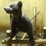 Фотофакт: так выглядит новгородский медвежонок-сирота Нелюшка