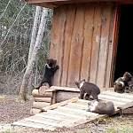 Два новгородских медвежонка впервые вышли из домика-берлоги