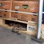 В питерскую «Ленту» в контейнере с бананами приехала змея