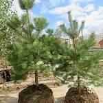На ПМЖ в новгородский парк «Луговой» прибыли симпатичные деревца