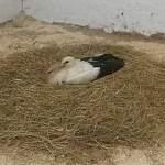Солецкий аистенок Гоша нашел место для зимовки